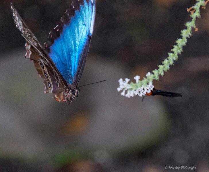 In Flight<br /> Brookside Gardens -  Butterflies - Wings of Fancy<br /> 1800 Glenallan Avenue<br /> Wheaton, MD