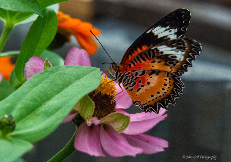 Orange<br /> Brookside Gardens -  Butterflies - Wings of Fancy<br /> 1800 Glenallan Avenue<br /> Wheaton, MD