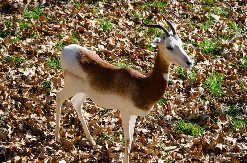 Look At Me<br /> Addra Gazelle<br /> Maryland Zoo<br /> Baltimore Maryland