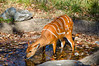 Cool Drink<br /> Sitatunga <br /> Maryland Zoo<br /> Baltimore Maryland