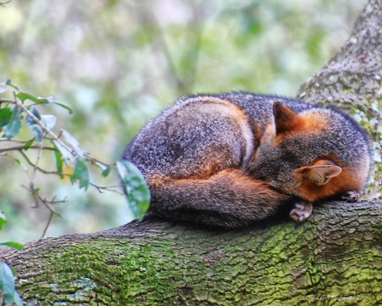 Sleepy<br /> Fox<br /> Brookgreen Gardens<br /> Myrtle Beach, South Carolina