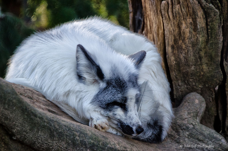 Worn Out<br /> Arctic Fox<br /> Maryland Zoo<br /> Baltimore Maryland