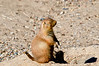 Asleep On Watch<br /> Black-tailed Prairie Dog <br /> Maryland Zoo<br /> Baltimore Maryland