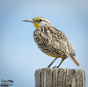 In late March I bought a D7000 to replace the D200 . . . in April I took this picture of a Western Meadowlark with the new camera.  Yes, I am liking the camera a lot.