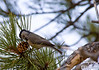 This is a Mountain Chickadee foraging for food.  I shot a number of pictures, but most were not that good because these things are pretty busy going after the pinecones.  They break them open like a woodpecker, by hitting them with their beak.