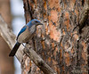 This is a fairly large blue bird.  I think some kind of jay, but could not find a match in my bird books. I was lucky this one stood still long enough to get a picture or two.