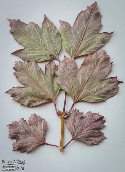Fall Leaves,