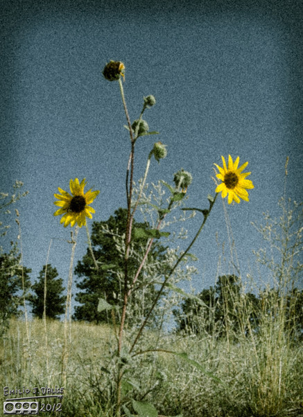 A onOne Software treatment of a common sunflower plant.