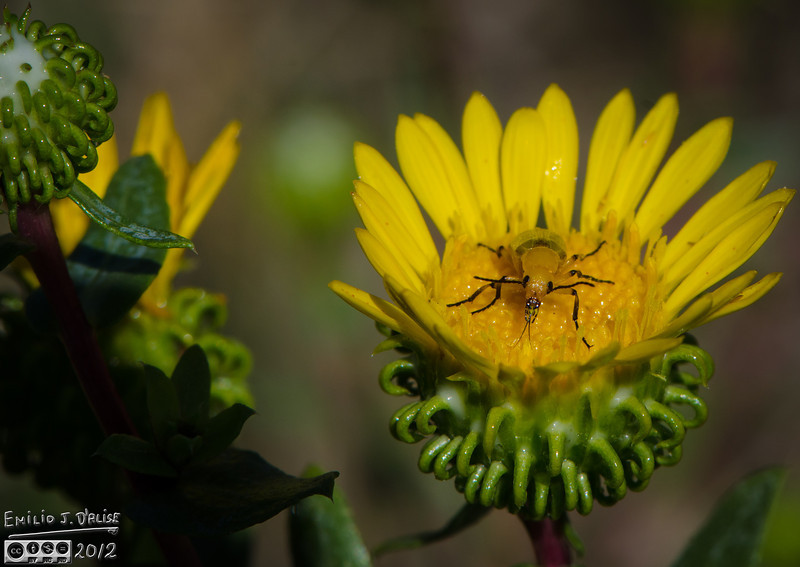 This looks like a Soldier beetle, but I could not make a positive identification.