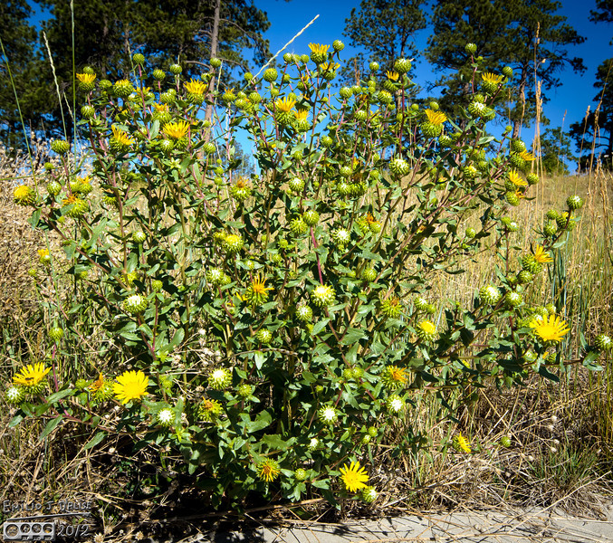 I walked by this plant countless times, and never notices something . . . it's leaking.  This is a gumweed plant.