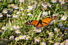 It's winter in San Leon as well, but you would not know it from the sight of a Monarch butterfly hitting on the few flowers in the grass.