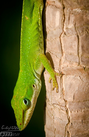 The San Leon Gecko