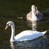 Adult & Juvenile Mute Swan