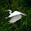 Heron -- Pickney Island