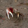 Fiddler Crab -- Pickney Island