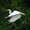 Heron -- Pickney Island