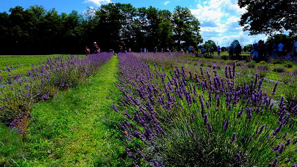 Luvin Lavender Farms, Madison, Ohio