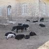45 - a bunch of goats