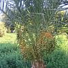 108 - fig palm