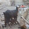 114 - baby goat