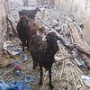 113 - goats