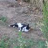 107 - nubian cat