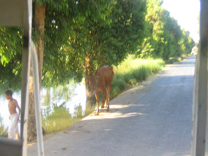 015 - thin cow