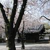 020 - sakura