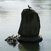 007 - turtles and birds at Nara Park Lake