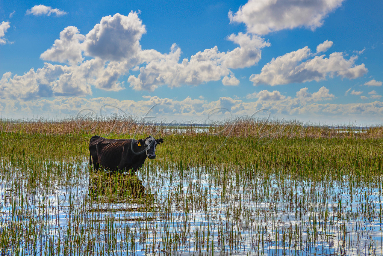 Wild Willy's 071<br /> <br /> Gators.....expected.<br /> Birds.....expected.<br /> Cow....not so much. <br /> <br /> It was a neat, surprising sight and cows can be a familiar sight while on the tour. They love the grass. <br /> And yes.....sometimes a gator eats well.