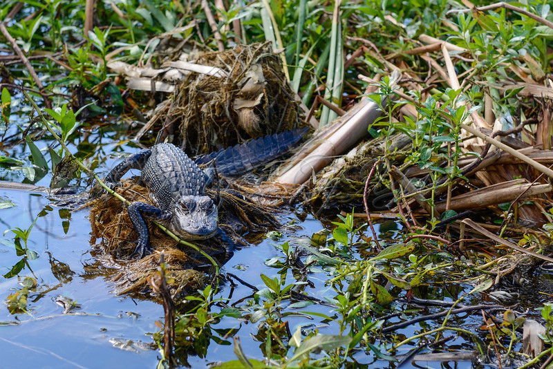 Wild Willy's 024<br /> <br /> A bebe gator...ok....well maybe a juvenile