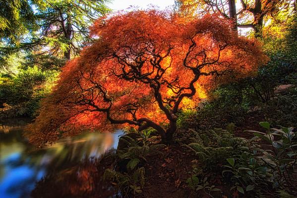Sunlit Japanese Maple Tree In Kubota Garden