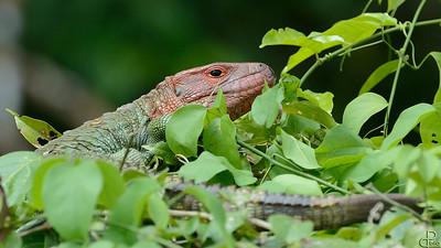 Pacaya-Samiria National Reserve - Peru Caiman lizard, Pacaya Samiria, Peru