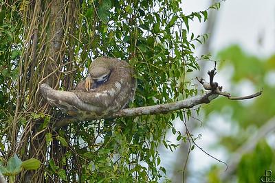 Pacaya-Samiria National Reserve - Peru Sloth, Pacaya Samiria - Peru