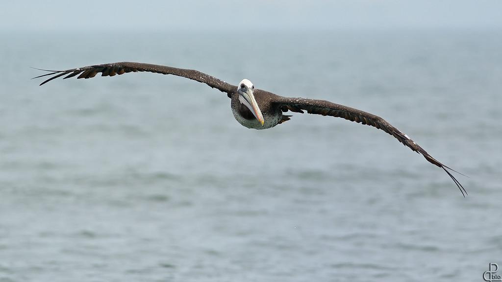 Paracas National Reserve - Peru Paracas, Peru - Pelican