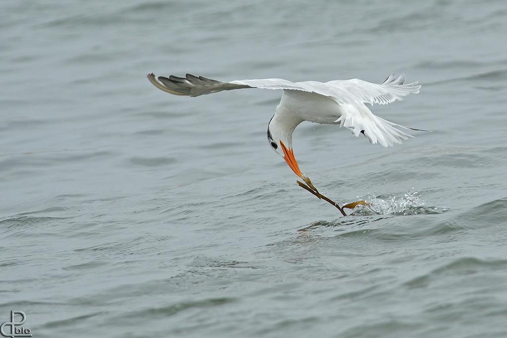 Paracas National Reserve - Peru Tern, Paracas, Peru