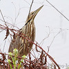 American Bittern <br /> Squaw Creek Natural Wildlife Refuge