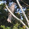 Brown-eared Bulbul<br /> (Ixos amaurotis)<br /> Enoshima Island, Japan