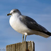 Ring-billed Gull <br /> Pere Marquette State Park
