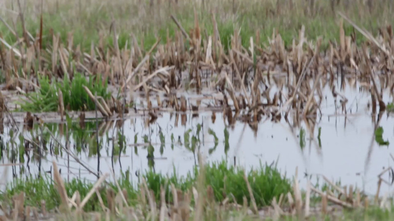 """Wilson's Phalarope <br> Wise Road <br> Riverlands Migratory Bird Sanctuary <br><br><span class=""""noShowSmart""""> <a href=""""/MyKeywords/Bird-Videos/n-gF9bt/i-6FZ8kjk/A""""> <span style=""""color:yellow"""">Click here to open video in lightbox/full screen</span></a> <br><br></span>  <span class=""""noShowGallery""""> <a href=""""/Birds/Birding-2013-April/2013-04-28/i-6FZ8kjk/A""""> <span style=""""color:yellow"""">Click here to open video in lightbox/full screen</span></a> </span>"""