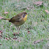 Common Yellowthroat <br /> City of Bridgeton<br />  St. Louis County, Missouri <br /> 2013-10-06