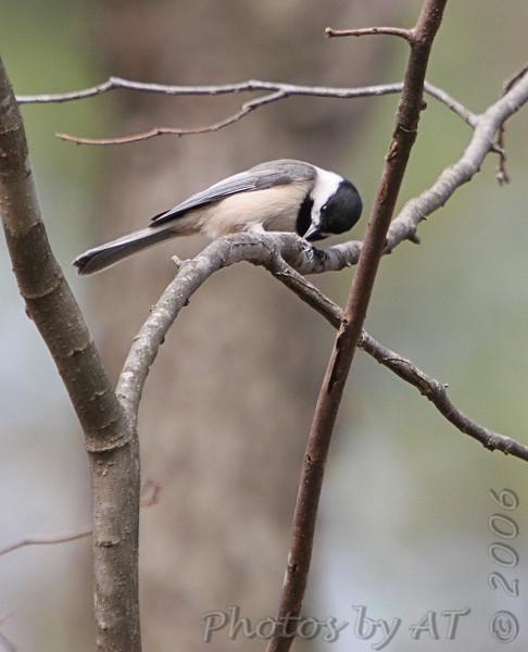 Carolina Chickadee<br /> Busch Wildlife Conservation Area