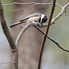 Carolina Chickadee<br /> Busch Wildlife Conservation Area