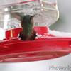 Calliope Hummingbird <br /> Ozark, Mo <br /> 11/16/14