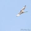 Swallow-tailed Kite<br /> Weldon Spring Site Interpretive Center Prairie