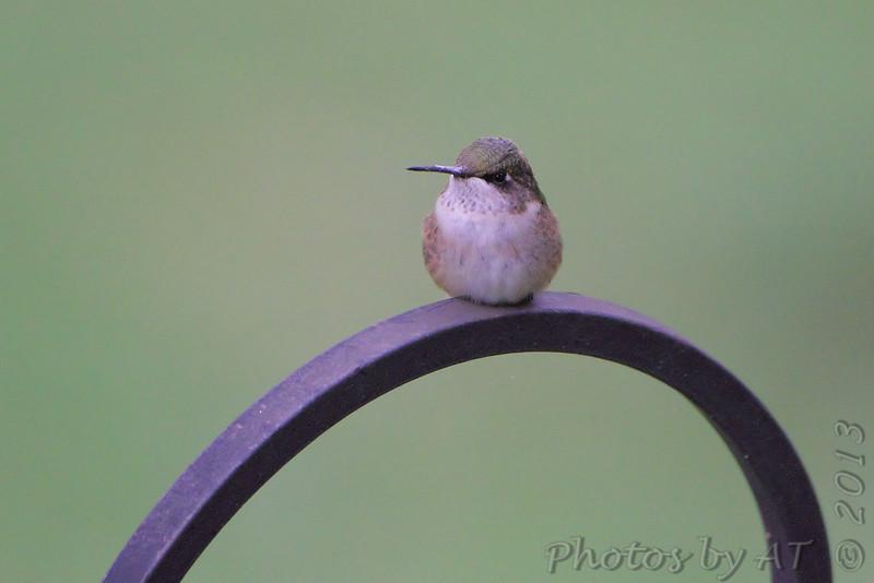 Ruby-throated Hummingbird <br /> City of Bridgeton <br /> St. Louis County, Missouri <br /> 2013-10-07