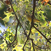 Orange-crowned Warbler <br /> City of Bridgeton <br /> St. Louis County, Missouri <br /> 10/16/13