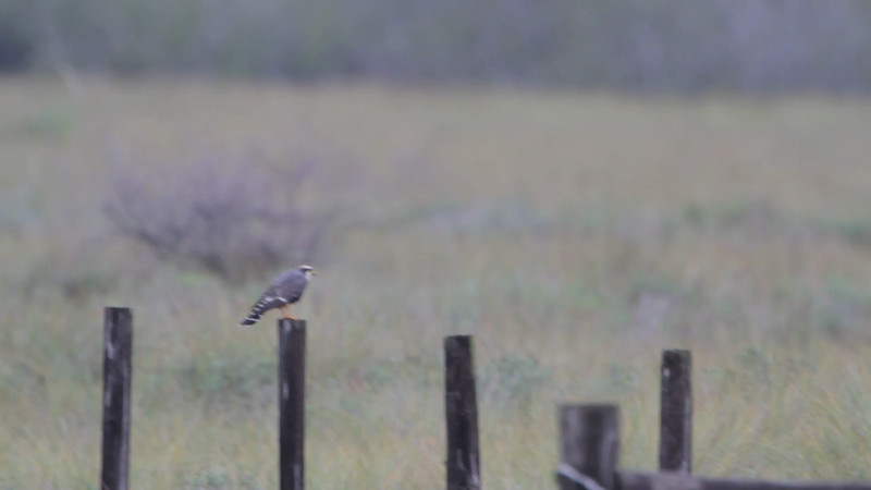 """Aplomado Falcon <br> Second one at fence corner much closer.  <br> Luguna Atascoso NWR  <br> Texas <br><br><span class=""""noShowSmart""""> <a href=""""/MyKeywords/Bird-Videos/n-gF9bt/i-Dtwbj5F/A""""> <span style=""""color:yellow"""">Click here to open video in lightbox/full screen</span></a> <br><br></span> <span class=""""noShowGallery""""> <a href=""""/Birds/Birding-2013-January/2013-01-09-Luguna-Atascoso-NWR/i-Dtwbj5F/A""""> <span style=""""color:yellow"""">Click here to open video in lightbox/full screen</span></a> </span>"""
