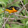 Baltimore Oriole (Male) <br /> Lake 6 Busch Wildlife Area