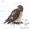 Sharp-shinned Hawk <br /> City of Bridgeton  <br /> St. Louis County, Missouri <br /> 2013-12-08